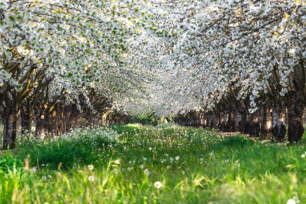 cerisiers fleur sannes