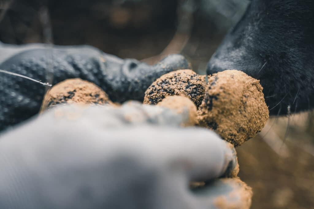truffe noire luberon