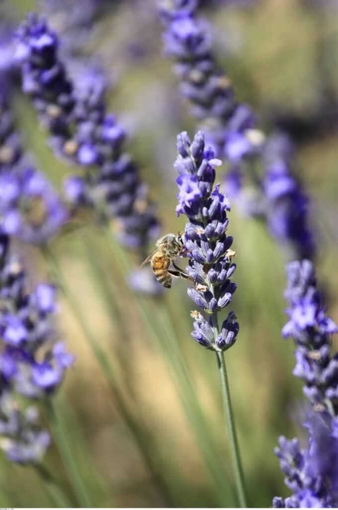 Les lavandes, au bonheur des abeilles