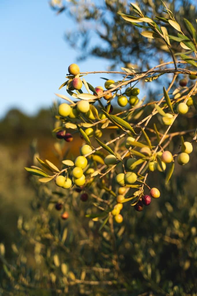 Olives de La Bastide du Laval